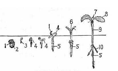 种子的成长过程图片 种子生长过程简笔画图片-蚕宝宝生长过程图片
