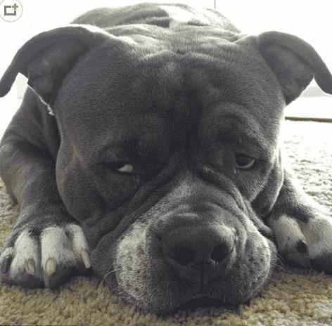 斗牛犬搞笑图片这只无敌犬的表情真是斗牛了表情包女神搞笑gif图片