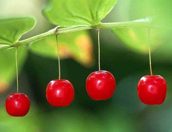 想起小时候家门口那颗樱桃树, 随便我吃,还爬到树上边摘边吃!