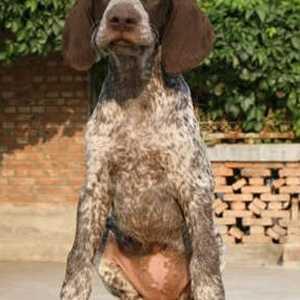 波音达犬能活几年 给它尽量多的活动量