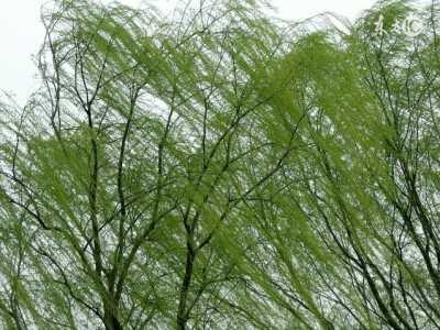 柳树杨树 柳树为什么叫杨柳