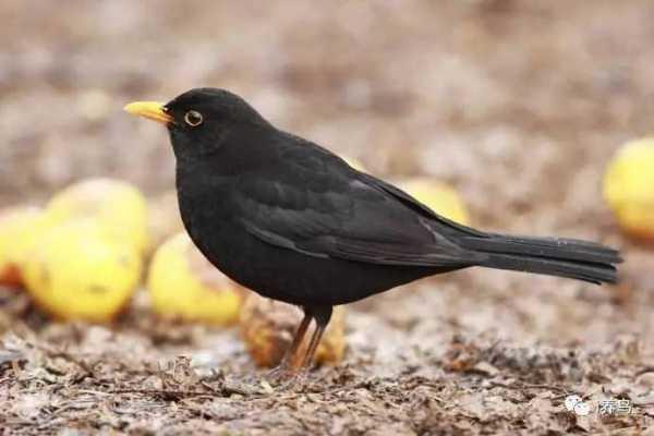 黄颊山雀叫声_红嘴,黄颊,什么鸟 献给各位养鸟者以及准备养鸟的朋 - YY个性网