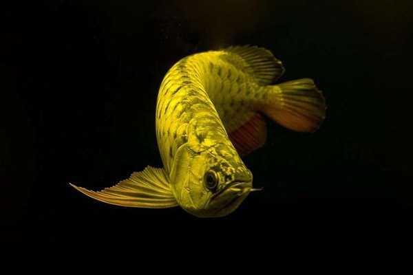 红龙鱼吧 龙鱼品种图片