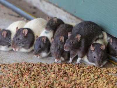 梦到老鼠是什么意思 梦见老鼠是什么意思