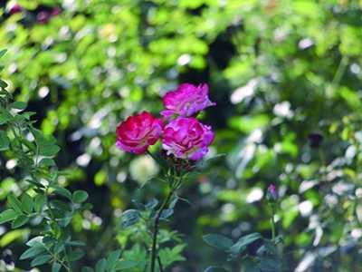 盆栽月季花的养殖方法 小盆栽月季花怎么养殖