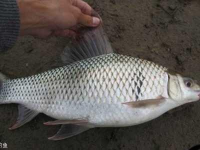鲮鱼的做法 鲮鱼的食性及钓鲮鱼的饵料制作方法